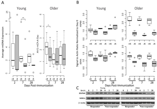 Mitochondrial DNA and OXPHOS protein abundance confirm the elevated OXPHOS signature of responders(A) Relative mtDNA abundance in young (left panel) and older subjects (right panel) is significantly altered between vaccine responders (open boxes) and non-responders (filled boxes) at day 7 for young responders, with a trend at day 2 for older responders, compared to non-responders. mtDNA values are normalized with respect to the pre-vaccination time point. A subset from the cohort of older responders (n=7), older non-responders (n=8), young responders (n=6) and young non-responders (n=5) was evaluated. Dashed lines indicate the lower and upper range of values, with outliers indicated by open circles, bars indicating the 25th and 75th percentiles and dark horizontal lines the medians ** p<0.05, *p<0.1 (B) Induction of the mitochondrial chaperone protein HSP60 and mitochondrial Complex II component SDHA after influenza vaccination in young (left panel) compared to older adults (right panel), stratified by vaccine status (n=5 for each of the categories of older responder, older non-responder, young responder and young non-responder; relative pixel intensities of HSP60 and SDHA using β-actin as a loading control are normalized to day 0). For HSP60, a statistically significant increase in protein expression was found for young responders compared to non-responders at day 7 (p=0.04), and for older responders compared to non-responders at days 2 (p=0.007), 7 (p=0.0001), and 28 (p=0.0001). For SDHA, a significant increase in expression in young responders compared to non-responders was found at day 2 (p=0.007), and in older responders vs. older non-responders at days 2 (p=0.006), 7 (p=0.002), and 28 (p=0.007; p values were calculated using a t-test). (C) Representative Western blot of HSP60 and SDHA expression for young and older vaccine responders and non-responders.