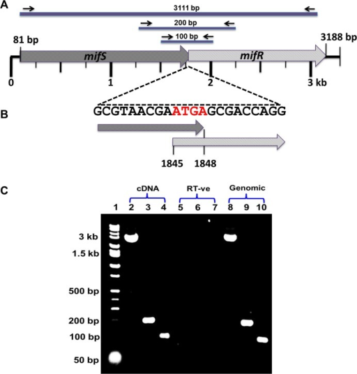 Genome organization of the mifSR gene locus.In P. aeruginosa PAO1 the mifR (PA5511) ORF has a translation start codon (ATG) overlapping the mifS (PA5512) termination codon (TGA), denoted in red (B), suggesting that the mifS and mifR genes are physically linked. The cDNA amplification of the intergenic region spanning the mifS and mifR genes using GDT_cotrans F1-R1 and GDT_cotrans F2-R2 primers (Table 1) confirm that the two genes mifS and mifR are co-transcribed and form an operon (C).