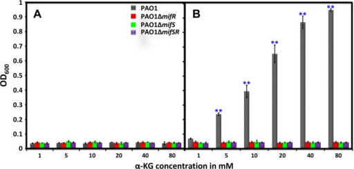 Growth profile in the presence of varying concentrations of α-KG.PAO1 and its isogenic mifSR mutants, PAOΔmifS, PAOΔmifR and PAOΔmifSR were grown in M9 minimal media with varying concentrations of α-KG (1 to 80 mM) as the sole carbon source. Growth was monitored by measuring absorbance at 600 nm (OD600) over a period of 24 h at 37°C. OD600 at 0 h (A) and 24 h (B) is plotted against α-KG concentration. Results shown are mean with standard deviation of three biological replicates. Statistically significant difference between the wild type and mutants as determined by one-way ANOVA with Bonferroni's post-hoc test, ** p-value < 0.001.