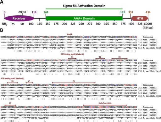 P. aeruginosa MifR domain organization and sequence alignment.(A) MifR domain organization determined using the Simple Modular Architecture Research Tool (SMART) [51]. MifR is a sigma-54 dependent transcriptional activator [57]. There are three functional domains, N-terminal receiver with the conserved aspartate residue at position 53 (Asp-53) (Purple), central AAA+ ATPase, characteristic of sigma-54 dependent activation proteins (Green), and the C-terminal helix-turn-helix (HTH) DNA binding (Red) domains. (B) Sequence alignment of MifR with P. aeruginosa DctD (PA5166), NtrC (PA5125) and R. meliloti DctD. Vertical bars indicate conserved residues, asterisk (*) indicate residues are identical at that position. Key residues of the central AAA+ domain (C1 to C7) are well conserved amongst sigma-54 dependent transcriptional activators. The horizontal arrow bars indicate HTH domain. Asp-53 indicates the conserved phosphorylation site of P. aeruginosa MifR. The alignment was generated using ClustalW2 (http://www.ebi.ac.uk/Tools/msa/clustalw2/).