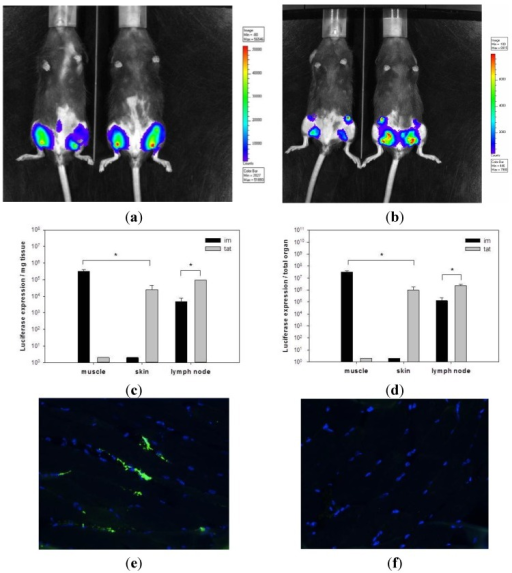 Tattooing of rSFV replicon particles results in high transgene expression. Luciferase expression by SFVLuc was determined in vivo with bioluminescence imaging using a CCD camera. Mice were tattooed (a) or injected intramuscularly (b) with 107 i.u. of SFVLuc. After 6 h, images with an integration time 30 s were taken. Blue colors represent the least and red colors represent the most intense light intensity. Two representative mice for each group are shown. Immediately after in vivo measurements, animals were sacrificed and muscles from the intramuscularly treated group or skin from the tattooed group and draining inguinal lymph nodes were isolated for ex vivo luciferase expression. Luciferase expression is shown as expression per mg organ (c) or per total organ (d) (n = 4). Data of a representative experiment out of two are shown. * p < 0.05. Mice were intramuscularly injected with 108 i.u. of SFV-EGFP (e) or PBS (f). After 24 h, skin and muscle from the site of administration were excised and analyzed by immunofluorescence staining. For immunofluorescent staining, muscle tissue expressing EGFP were analyzed using anti-GFP antibody (green). Cell nuclei were detected using DAPI (blue) (magnification 40×). A representative image for each group is shown.