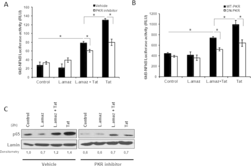 L. amazonensis and Tat induced NF-kB activation downstream of PKR signaling.(A) THP-1 and (B) RAW 264.7 cells stably transfected with either the empty vector (RAW-WT-Bla PKR cells) or the dominant-negative PKR K296R (RAW-DN-PKR cells) were transiently transfected with the 6kB-Luciferase consensus vector. Then, 24 h post-transfection the cells were infected with L. amazonensis for 18 h and/or treated with Tat (100 ng/mL). After twenty-four hours, whole-cell lysates were analyzed for luciferase activity. (C) Western blot was performed for THP-1 cell nuclear extracts. The cells were treated with Tat and/or PKR two hours post-infection. Nuclear proteins were extracted and incubated with the anti-p65 antibody in PVDF membranes. The results are representative of three independent experiments. *P < 0.05.
