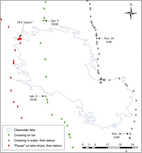 "Examples of commonly observed caribou movements in the vicinity of large water bodies. Prolonged ""pauses"" on water body shores before or after crossings and detours are illustrated using red diamonds. Fast and directional movements on ice are illustrated using green arrows. Unsuccessful attempts at crossing open water lakes are illustrated using grey arrows. These movements were made by two migratory caribou from the Rivière-aux-Feuilles herd in the vicinity of Clearwater Lake between November 2010 and April 2014. Similar movements were observed on other water bodies at different dates by different individuals"