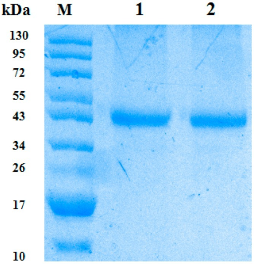 The expression and purification of GST-CypA. The CypA protein of yellow catfish was GST-fused expressed, purified and confirmed through SDS-PAGE, where the M represents the protein marker, Lane 1 represents CypAwt and Lane 2 represents CypAmt in this figure.
