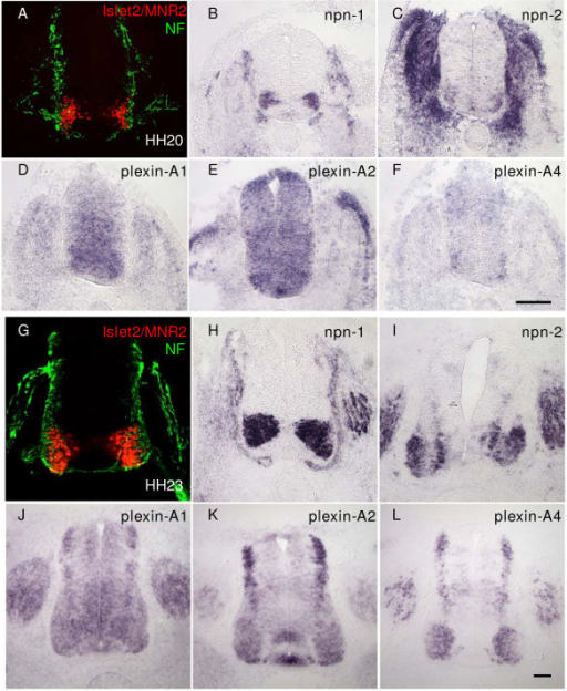 Expression of semaphorin receptors Npn-1 and Npn-2, and Plexin-A1, -A2, and -A4 by motor neurons in the chick embryo spinal cord. In situ hybridisations on transverse cryosections (20 μm) of chick embryo spinal cord (hindlimb level) from (b-f) HH stage 20 and (h-l) HH stage 23, show that Npn-1 (b,h), Npn-2 (c,i) and Plexin-A1 (d,j), Plexin-A2 (e,k), and Plexin-A4 (f,l) are all expressed by motor neurons. (a,g) Comparable sections from the same stage embryos immunolabelled with the motor neuron specific antibodies MNR2/islet2 (red) and counterstained with neurofilament antibody (NF; green). Bars = 50 μm.