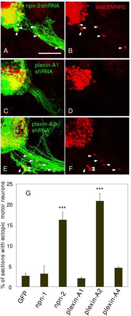 shRNA mediated selective knockdown of Npn-2 or Plexin-A2 mRNAs in the chick ventral spinal cord induces ectopic positioning of motor neurons. (a-f) Confocal micrographs of transverse vibratome sections (75 μm) of HH stage 24 embryo spinal cord 2 days after electroporation in the ventral neural tube. MNR2/Islet2 positive ectopic motor neurons (red; white arrows) are found in embryos electroporated with shRNA-EGFP vectors specific for Npn-2 (a,b) and Plexin-A2 (e,f), but not for Plexin-A1 (c,d). The presence of the shRNA vector is indicated by EGFP expression (green) such that MNR2/Islet2 positive motor neuron somata in ectopic positions are yellow (arrows in (a,e)). Bar = 150 μm. (g) Histogram showing percentage of HH stage 24 embryo sections containing dual labelled EGFP and MNR2/Islet2 positive ectopic motor neurons after ventral electroporations at HH stage 12–15 with shRNA-EGFP vectors targeting Npn-1, Npn-2, Plexin-A1, Plexin-A2 and Plexin-A4, or EGFP control vector. Only those shRNA constructs targeting Npn-2 and Plexin-A2 induced ectopic positioning of motor neurons. ***P < 0.001; two-tailed t-test.