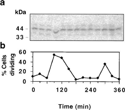 Steady-state level  of pol β during the C. fasciculata cell cycle. (a) Western  blot of whole cell lysates (5  μg protein per lane) made at  30-min intervals from a synchronized culture. Blots were  probed with anti–pol β serum and 125I-labeled protein  A. Control experiments indicated that PhosphorImager  signals are in the linear  range. (b) Percentage of cells undergoing cell division in the same  culture as determined by DAPI fluorescence and phase microscopy.