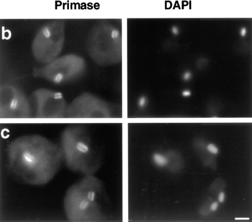 DNA primase localization during the C. fasciculata cell  cycle. Cells from a synchronized culture were processed for immunofluorescence and stained with DAPI. (a) Percentage of cells  undergoing cell division (closed circles), and percentage of cells  with DNA primase localized above and below the kDNA disk  (open triangles). (b) Localization of DNA primase during S  phase, 60 min after release from hydroxyurea arrest. (c) Localization of DNA primase from the peak of cell division, 120 min after  release from hydroxyurea arrest. The same localization of primase was seen at other time points. Left column, DNA primase  localization detected by goat anti–mouse antibody conjugated to  fluorescein. Right column, cells stained with DAPI to visualize  the brightly stained kDNA and dimly stained nuclear DNA. Images were captured as described in the legend of Fig. 1. Bar, 3 μm.