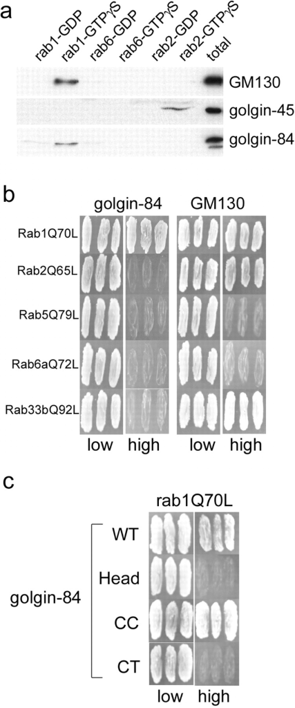 Golgin-84 is a specific binding partner for rab1. (a) GST-tagged rab1, rab2, and rab6 were loaded with GDP or GTPγS and incubated with Golgi extract, and specifically eluted proteins were analyzed by Western blotting with antibodies to GM130, golgin-45, and golgin-84. (b) Full-length GM130 and golgin-84 lacking the transmembrane domain were tested for interaction in the yeast two-hybrid system with the following rab proteins carrying activating point mutations: rab1Q70L, rab2Q65L, rab5Q79L, rab6Q72L, and rab33bQ92L. Interactions between the indicated proteins results in growth on high selection medium. (c) Full-length and truncation mutants of golgin-84 were tested for interaction with rab1Q70L in the yeast two-hybrid system. The CT mutant corresponds to the ΔHead + CC construct described in Fig. 5 without the membrane anchor.