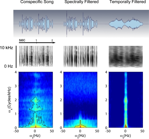 Oscillograms (top row), spectrograms (middle row) and modulation spectra (bottom row) showing the spectral and temporal features found in the experimental auditory stimuli. The figure shows an example of conspecific song before (CON) and after spectral (CON-sf) and temporal filtering (CON-tf). The modulation spectrum (see online edition for colour figure) quantifies the spectrotemporal structure that is present in the sound (see Material and methods). ωx = spectral modulations, ωt = temporal modulations.