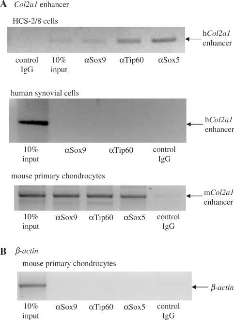 Tip60 and Sox5 associate with a Sox9-target locus in the Col2a1 enhancer. (A) ChIP analysis of human chondrocytic cell line HCS-2/8 (upper panel) and of primary mouse chondrocytes (lower panel) with antibodies against Tip60, Sox9, Sox5 demonstrates binding of all three factors to the Sox9 target. In human synovial cells, which do express Tip60 but not Sox9 (data not shown) the Col2a1 locus is not precipitated by these antibodies (middle panel). The enhancer region of Col2a1 intron1 was amplified by PCR. (B) CHIP of the β-actin gene of mouse primary chondrocytes with each antibody as a control confirms the absence of unspecific chromatin immunoprecipitates.