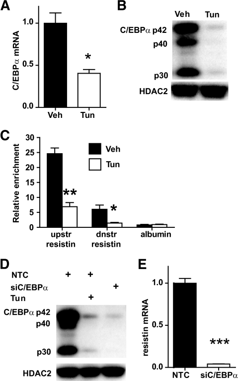 Downregulation of C/EBPα by ER stress decreases resistin expression. A and B: Endoplasmic reticulum stress induced by treatment with 5 μg/ml tunicamycin for 24 h leads to downregulation of C/EBPα mRNA and protein compared with vehicle control. Gene expression data are presented as mean ± SE, n = 3. C/EBPα protein levels were assayed by Western blotting, and HDAC2 served as a loading control. C: Endoplasmic reticulum stress reduces C/EBPα recruitment to resistin at a downstream site at the known C/EBPα binding site at −50 bp relative to the transcription start site (TSS), and at a site located ∼9 kb upstream of the TSS. Mature adipocytes were treated as in A, and recruitment was measured by ChIP-QPCR. A region at the TSS of albumin was used as negative control for C/EBPα recruitment. Enrichment was normalized to a site on the Arbp/36b4 gene were C/EBPα does not bind. Data are presented as mean ± SE of three independent ChIP experiments. D: C/EBPα knockdown (siC/EBPα) mimics the effects of ER stress on resistin expression. Mature adipocytes, electroporated with C/EBPα or nontarget control (NTC) siRNA oligos, were treated with vehicle or 5 μg/m tunicamycin for 24 h. Efficiency of siC/EBPα was assayed by Western blot and compared with NTC in the presence or absence of 5 μg/m tunicamycin. HDAC2 was used as a loading control. E: Resistin mRNA levels were measured in vehicle-treated treated C/EBPα kd or NTC cells by QPCR and normalized to Arbp/36b4. Data are presented as mean ± SE, n = 3. *P < 0.05, **P < 0.01, ***P < 0.001.