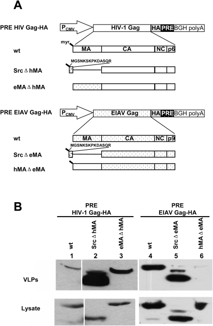 Substitution of HIV-1 matrix with other membrane targeting domains rescued PRE-dependent HIV-1 Gag budding in human cells.(A) Schematic diagram of plasmids expressing HA tagged PRE-dependent HIV-1 Gag mutants (upper panel) and EIAV Gag mutants (lower panel). (B) Budding of PRE-dependent HIV-1 and EIAV Gag mutants. 293T cells were transfected with the indicated PRE-dependent HIV-1 and EIAV Gag mutants described in (A). At 24 h post transfection, VLPs (upper panel) and cell lysates (lower panel) were analyzed by immunoblotting using HA antibody. Data are representative of three independent experiments.
