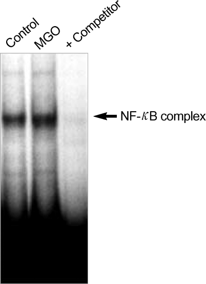Effects of MGO on NF-κB binding. Pericytes were treated with MGO (800 µM) for 6 hr. Nuclear extracts from the treated and untreated control cells were isolated and used in an EMSA with 32P-labeled NF-κB oligonucleotide as a probe. The arrow indicates the NF-κB binding complex. Competitor, 100-fold molar excess of unlabeled NF-κB probe. Data are representative results from three separate experiments.