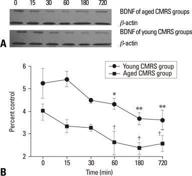Time course of BDNF protein expression in the hippocampus measured by Western blotting after chronic repeated stress. (A) Representative photographic film, illustrating the dynamic changes in BDNF protein from the young and aged CMRS groups. (B) Results of statistical analysis of BDNF protein expression in control groups (unstressed, 0 min) and stressed animals after 15, 30, 60, 180, 720 min of stress (in two stress conditions). The results were expressed as mean ± SEM. *p < 0.05 and **p < 0.001 vs. young control group. †p < 0.05 and ‡p < 0.001 vs. aged control group. n = 5-6 rats per each time point studied in two independent stress conditions. BDNF, brain-derived neurotrophic factor; CMRS, chronic mild repeated stress.