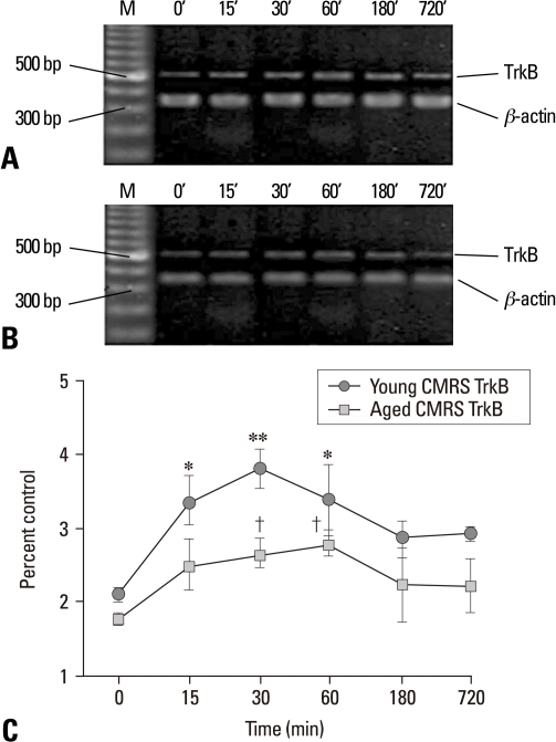 TrkB mRNA expression measured by semiquantitative RT-PCR in the control groups (unstressed, 0 min) and young and aged CMRS groups after a period of different stress performance. Total RNA was isolated from the hippocampus and assayed for TrkB at 15, 30, 60, 180, 720 min after stress. (A) Representative electrophoretograms showing the expression of TrkB mRNA in the young control and CMRS groups. (B) TrkB mRNA expression in the aged control and CMRS groups. (C) Line chart represented the results of quantitative analysis of TrkB mRNA at different time points after stress. The results were calculated as the intensity of the lane of each transcript over the intensity of β-actin (internal standard) band and expressed as the mean ± SEM. *p < 0.05 and **p < 0.001 vs. young control group. †p < 0.001 vs. aged control group. n = 5-6 rats per each time point studied in two independent stress conditions. TrkB, tyrosine kinase-coupled receptor; CMRS, chronic mild repeated stress; RT-PCR, reverse transcription-polymerase chain reaction.
