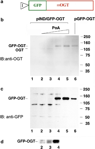 Inducible expression of mOGT in EcR293 cells. a Diagram of the GFP–mOGT construct under the control of an inducible promoter (pIND/GFP–OGT). b Western blot analysis using an anti-OGT antibody to compare expression levels of pIND/GFP–OGT with increasing amounts of Ponasterone A (PoA) to a CMV-driven GFP–OGT fusion (pGFP–OGT). c Western blot analysis of same samples using an anti-GFP antibody. For b and c EcR-293 cells were transfected with pIND/GFP–OGT and incubated without Ponasterone A(PoA) (lane 1), or with the following concentration of PoA: 0.1 µM (lane 2), 0.5 µM (lane 3), 3.0 µM (lane 4), 15.0 µM (lane 5). Cells were also transfected with the CMV-driven plasmid pGFP–OGT (lane 6). On the right side are molecular weight markers. d Longer exposure of the Western blot shown in c between lanes2 and 4 at 140 kDa range