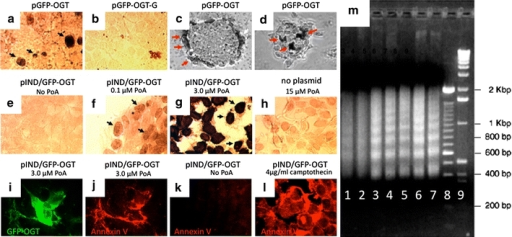 Overexpression of catalytically active GFP–OGT induces apoptosis. a CMV-driven expression of the mitochondrial form of OGT (pGFP–OGT) induces apoptosis as shown by the TUNEL assay. b A catalytically inactive form of OGT (pGFP–OGT-G) does not induce apoptosis. EcR-293 cells were used for transfections in a and b. c and d An insulinoma cell line, INS-1, was transfected with active OGT (pGFP–OGT). The TUNEL assay was used to reveal apoptotic cells. Representative focal planes near the bottom (c) and top (d) of INS-1 cell clusters are shown. Note the apoptotic cells on the outer layer of cells in the clusters. Black and red arrows denote cells scored as positive by the TUNEL assay. e–g EcR-293 cells were transfected with GFP–OGT (pIND/GFP–OGT) and induced with Ponasterone A (PoA) at indicated concentrations. Note the increasing amount of TUNEL-positive cells (black arrows) in g and h compared with the two negative controls e and h pIND/GFP–OGT, no PoA and no plasmid, 15 µM PoA, respectively. i–l Annexin V staining was used to identify apoptotic cells. i EcR-293 cells were treated with 3.0 μM of Ponasterone A to induce expression of pIND/GFP–OGT (green). j Same field stained with an anti-annexin V antibody to reveal apoptotic cells (red). Note near-complete colocalization of GFP–OGT expression and Annexin V staining (compare i and j). k Untreated cells did not stain positive for Annexin V. l As a positive control for apoptosis, 4 μ/ml camptothecin was added to uninduced cells. m DNA ladder assay. Genomic DNA from pIND/GFP–OGT transfected cells (lanes 1–5) was separated on an agarose gel to reveal DNA laddering. Uninduced cells are shown in lane 1. Increasing amounts of Ponasterone A were added at the following concentrations: 0.1 µM (lane 2), 0.5 µM (lane 3), 3.0 µM (lane 4), 15.0 (lane 5). The DNA laddering from CMV-driven expression of pGFP–OGT (lane 6) is comparable to the commercially available positive control from Calf thymus (lane 7). DNA size markers of 100 bp (lane 8) and 1 kb DNA (lane 9) are shown