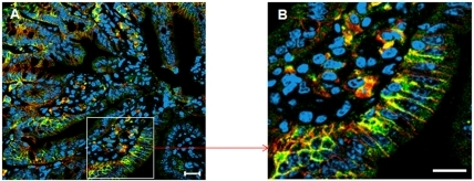 Co-localization of abcc2 and β-catenin in the membrane of ileum mucosa cells.Double immunofluorescence staining of abcc2 (green) and β-catenin (red) in mouse ileum using confocal laser scanning microscopy. Far-red fluorescent DNA dye DRAQ5 (blue) for visualizing nuclei. Co-localization between abcc2 and β-catenin was shown as yellow. A) Original magnification 40× (scale bar, 20 µm). B) Higher magnification of selected area.