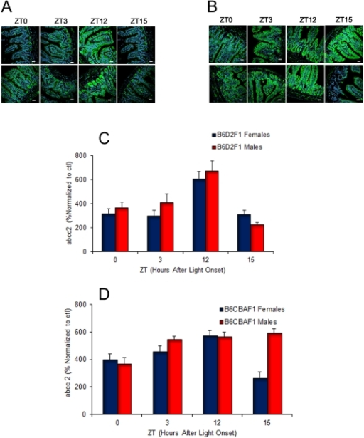 Confocal immunohistochemistry imaging of abcc2 protein expression in mouse ileum, according to circadian time, genetic background and sex.A) Selected examples in male (upper row) and female (lower row) B6D2F1. B) Id in B6CBAF1. C) Histogram depicting the changes in mean (±SEM) protein expression at four ZTs associated with low or high mRNA expressions in male and female B6D2F1. D) Id in B6CBAF1. NOTE: Three-way ANOVA confirmed statistically significant differences as a function of ZT (p<0.001), strain (p = 0.048). Statistically significant interactions were detected between ZT*strain (p = 0.001), ZT*sex (p = 0.035) and ZT*strain*sex (p = 0.004).