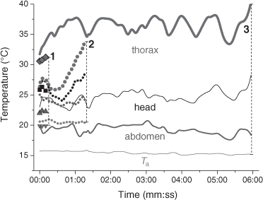 Body and ambient temperatures (Ta) of a bee's short foraging stay on Aster sp. (1, symbols), a stay of medium duration on Cirsium oleraceum (2, dotted lines) and a long lasting stay on Taraxacum officinalis (3, continous lines). From the top to the bottom: thorax (red), head (black), abdomen (blue), and Ta (green).