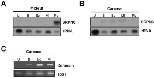 SRPN6 expression following bacterial injection into the mosquito hemocoel.Approximately 2×103 bacteria were injected into the hemocoel of adult female An. stephensi. SRPN6 expression was analyzed by Northern blot in the midgut (A) and carcass (all non-gut tissues) (B) 6 h post bacteria injection of into the hemocoel. Procedures and abbreviations are the same as in Figure 1A. Similar results were obtained in three independent experiments. (C) As a control, expression of the anti-microbial peptide defensin was monitored by semi-quantitative RT-PCR in the carcass samples after bacteria injection. Procedures and abbreviations are the same as in Figure 1B.