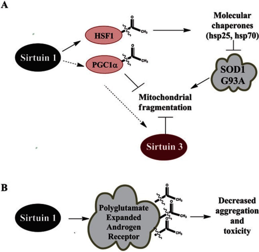 Sirtuin targets in motor neuron diseases. (A) In the SOD1 G93A mouse model of amyotrophic lateral sclerosis, intraperitoneal injection of resveratrol is protective. The proposed mechanism is that SIRT1 can deacetylate HSF1, inducing transcription of hsp70 and hsp25. Induction of these heat shock proteins decrease proteotoxic stress from misfolded protein aggregates11,70,75,111. SIRT3 and PGC-1α were also shown to protect against mitochondrial fragmentation and neuronal cell death induced by SOD1 G93A overexpression in cell culture115. (B) In spinal and bulbar muscular atrophy (SBMA), the polyglutamine-expanded androgen receptor can be directly deacetylated by SIRT1 at lysines 630, 632, and 633. It has been shown that deacetylation of the androgen receptor at these residues can decrease aggregation and toxicity in cellular models of SBMA124.