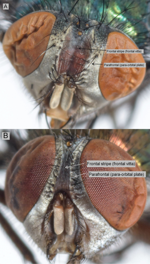 Frontal stripe – Lucilia sericata (A) and Lucilia cuprina (B).