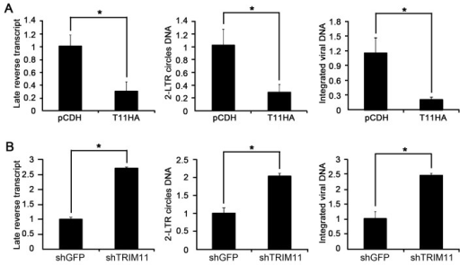 Effects of TRIM11 on the early steps of HIV-1 replication.A. HEK293 cells stably expressing TRIM11 or control pCDH vector were inoculated with 50 ng/ml (p24gag) of HIV-1 Vpr− viruses and analyzed by qPCR for late reverse transcripts and 2-LTR circle DNA at 24 hpi and integrated DNA at 14 day post infection (dpi). B. TRIM11 knock-down and control cell lines were inoculated with 50 ng/ml (p24gag) of HIV-1 Vpr− viruses and analyzed by qPCR for late reverse transcripts and 2-LTR circle DNA at 24 hpi and integrated DNA at 14 dpi. Error bars represent the standard deviations from three independent replicates of the same experiment. *P<0.05.