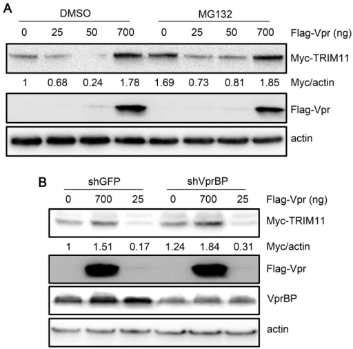 Effects of proteasomes and VprBP on the regulation of TRIM11 by Vpr.A. HEK293 cells were cotransfected with different amounts of Vpr and 300 ng Myc-TRIM11. Twelve hours post-transfection, cells were treated with DMSO or MG132 for another 12 h. Cell lysates were immunoblotted with the indicated antibodies. B. HEK293 cells stably transduced with shRNA targeting VprBP or GFP were cotransfected with different amounts of Vpr and 300 ng Myc-TRIM11. Twenty-four hours post-transfection, cell lysates were immunoblotted with the indicated antibodies. The numbers under each lines display the relative ratios between the Myc signals and actin signals. Representative results from three separate experiments are shown.