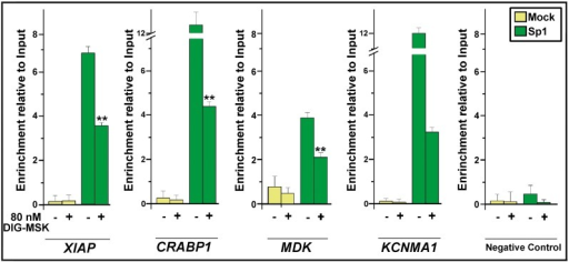 Chromatin immunoprecipitation analysis of Sp1 binding to the promoters of XIAP, CRABP1, MDK and KCNMA1 genes in A2780 cells in the presence/absence of 80 nM DIG-MSK.ChIP was performed using an anti-Sp1 specific antibody. A DNA fragment that does not contain Sp1-binding sites was also immunoprecipitated as a negative control, as well as an unspecific immunoprecipitation using IgG (Mock). DNA in both the input and in the immunoprecipitated fractions was quantified by qRT-PCR. Data (mean ± SD from 3 independent experiments) are shown as the enrichment of input DNA in the immunoprecipitated fractions (**p<0.01; Student's t-test).