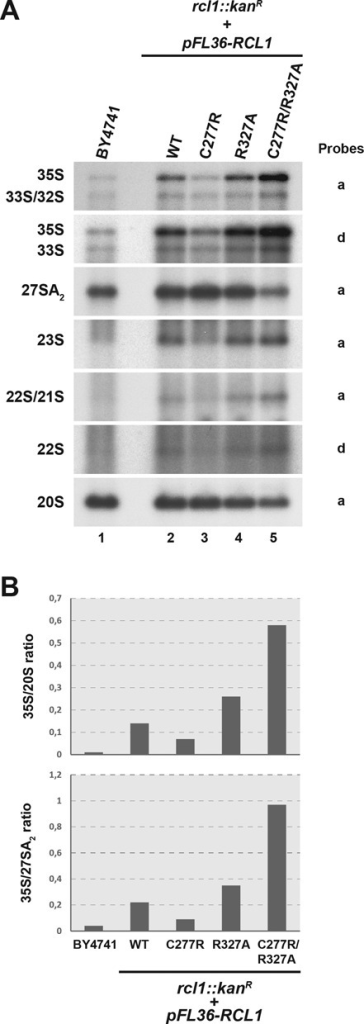 Amino acid substitutions altering the Rcl1p–Bms1p interaction affect early steps of pre-rRNA processing in vivo. (A) Northern blot analysis of pre-rRNA levels in strains expressing altered versions of RCL1. Total RNAs were extracted from yeast strains harbouring a deletion of the chromosomal RCL1 open reading frame (rcl1::kanR) and expressing plasmid-borne copies of wild-type or the indicated mutant versions of RCL1 (RCL1C277R, RCL1R327A, RCL1C277R/R327A). The accumulation levels of the different pre-rRNA species were analysed by northern blot using specific probes (indicated on the right). As a control, RNAs extracted from wild-type cells (BY4741) were analysed in parallel. (B) PhosphorImager quantifications of the radioactive signals obtained in the northern blot experiments presented in panel A. The ratios of the 35S over 20S species intensities and of the 35S over 27SA2 species intensities were calculated after background correction.