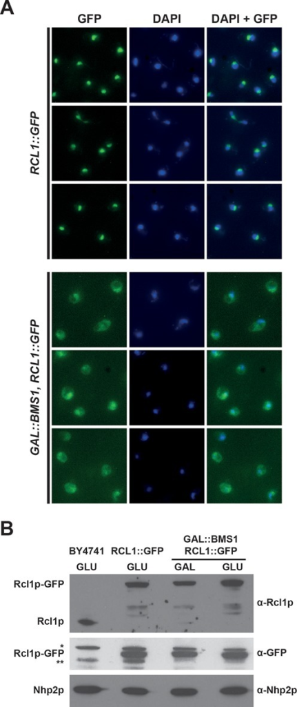 Bms1p depletion results in cytoplasmic accumulation of Rcl1p in yeast cells. (A) Subcellular localization of Rcl1p-GFP in the presence or absence of Bms1p. Upper 3 rows: yeast cells expressing a chromosomal GFP-tagged version of Rcl1p were grown in a glucose-containing rich medium. Lower 3 rows: yeast cells expressing Rcl1p-GFP and harbouring a chromosomal GAL1::BMS1 construct were shifted from a galactose- to a glucose-containing medium and grown for 11 h. In both cases, cells were harvested and processed for fluorescence microscopy. From left to right: Rcl1p-GFP fluorescence signal (green), DAPI staining (blue), merged images. (B) Accumulation levels of Rcl1p-GFP in the presence or absence of Bms1p. Yeast cells expressing Rcl1p-GFP and harbouring the chromosomal GAL1::BMS1 construct were shifted from a galactose- to a glucose-containing medium and grown for 11 h. Cells were harvested, total proteins were extracted and analysed by western blot using the indicated antibodies. The RCL1::GFP and BY4741 strains were grown on a glucose-containing medium and processed in parallel to determine the accumulation levels of Rcl1p-GFP and the endogenous Rcl1p protein, respectively, in these conditions. The nucleolar protein Nhp2p was detected as a loading control. * and **, non-specific proteins detected with the anti-GFP antibodies.