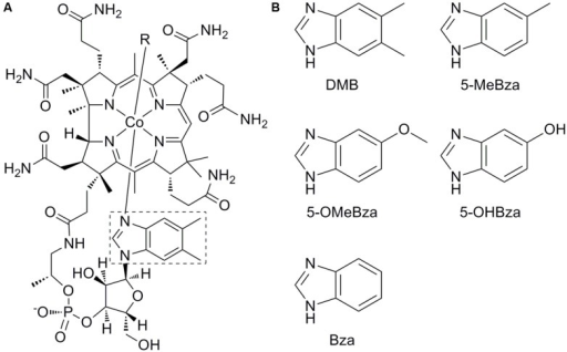 Structure of cobalamin and benzimidazole lower ligands. (A) Structure of cobalamin. The lower ligand, 5,6-dimethylbenzimidazole (DMB) is boxed. (B) Structures of lower ligands used in this study. 5-methylbenzimidazole (5-MeBza), 5-methoxybenzimidazole (5-OMeBza), 5-hydroxybenzimidazole (5-OHBza), and benzimidazole (Bza).