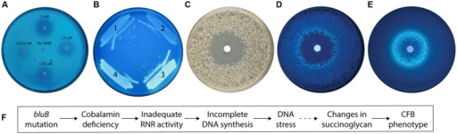 The calcofluor (CF) phenotype of the Sinorhizobium meliloti bluB mutant is influenced by DMB availability and DNA stress. (A) CF fluorescence of S. meliloti bluB on an LB CF plate. Filter disks containing DMB at the indicated concentrations were applied to the plate. (B) CF fluorescence phenotypes of S. meliloti strains (1) bluB mutant expressing Escherichia coli nrdAB on plasmid pMS03 ( Taga and Walker, 2010), (2) Wild type (WT) S. meliloti with empty vector pMS03, (3) bluB mutant with empty vector pMS03, and (4) bluB mutant expressing E. coli metE on plasmid pMS03 ( Taga and Walker, 2010). (C) Strain SmNrdAB+ on an LB CF plate with a filter disk containing hydroxyurea, photographed under white light. (D) Same as (C) but photographed under UV light. (E) Fluorescence of WT S. meliloti on an LB CF plate with a filter disk containing nalidixic acid. Filter disks were applied to the plates at the time of inoculation. (F) Schematic description of the physiological link between the bluB mutation and the CF fluorescence phenotype. The dashed line indicates that the mechanism is unknown.