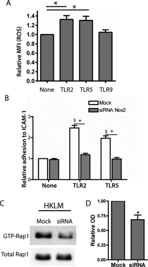 Nox2-dependent ROS production mediates TLR-dependent cell adhesion by inducing Rap1 activation. (A) ROS levels in THP-1 cells treated with HKLM (TLR2 ligand), flagellin (TLR5 ligand), or ODN2006 (TLR9 ligand) were assessed by flow cytometry using CellROX green reagent. Data are the mean MFI ± SEM (n = 4 independent experiments). *p < 0.05. Student's t test was used for statistical analysis. (B) Adhesion of THP-1 cells transfected with control siRNA (Mock) or siRNA targeting Nox2 to immobilized ICAM-1 in the absence or presence of the indicated TLR ligands. Data expressed as relative adhesion. Data are shown as mean ± SEM (n = 4 independent experiments). One-way ANOVA with Bonferroni posthoc analysis (asterisk and section sign [§] denote significance of the posthoc test; the latter symbol indicates comparison with unstimulated cells transfected with control siRNA). (C) Rap1-GTP (activated Rap1) levels in THP-1 cells transfected with control siRNA (Mock) or siRNA targeting Nox2 (siRNA) and treated with HKLM (TLR2). Data derived from one representative experiment. (D) Densitometric analysis of immunoblots demonstrating that Nox2 knockdown blocks the TLR2-induced Rap1 activation (n = 4 independent experiments). *p < 0.05. Student's t test was used for statistical analysis.