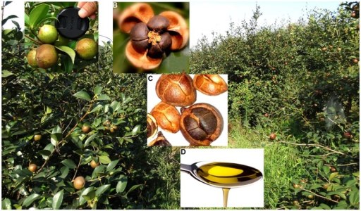 "Camellia oleifera ""Xianglin 14' produced abundant fruit. Fruit diameters were up to 4 cm (A); seed appearance at seed shell opening (B); a mix of seeds, nutlets, and fruit (C); and tea oil derived from seeds (D)."
