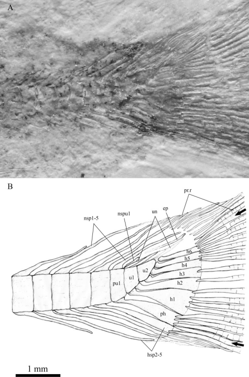 The caudal skeleton and bases of caudal fin rays in SHGM L275.Magnified image of the caudal skeleton and bases of caudal fin rays in SHGM L275, the arrows point to the outermost (unbranched) principal caudal fin rays. Abbreviations: ep, epural; h1-6, hypurals 1-6; hsp2-5, haemal spines on preural centrum 2-5; nsp1-5, neural spines on preural centrum 1-5; nspu1, neural spine on u1; ph, parhypural; pr.r, procurrent rays; pu1, preural 1; u1, u2, ural centra 1 and 2; un, uroneurals. Scale = 1 mm.
