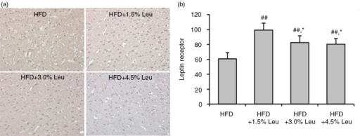 immunohistochemical staining of hypothalamic ObR (a) and comparison (b) in the four groups. (a) Original magnification, 400×. (b) Values are means for four rats with SD represented by vertical bars. The mean value was significantly different from that of the HFD group at ##P<0.01 and from that of the HFD+1.5% Leu group at *P<0.05. HFD, high-food diet; Leu, leucine.