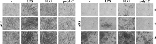 LPS and flagellin promote osteogenic differentiation of USSCs. USSCs were differentiated towards the osteogenic lineage for 6 to 14 days in the absence (–) or presence of TLR agonists (LPS, flagellin or polyI: C). ALP and ARS stainings of 6, 7 and 8 days differentiated USSCs are shown.