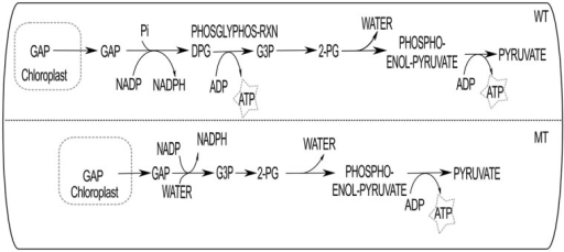 The deletion effect of PHOSGLYPHOS-RXN is shown here.In WT, GAP (glyceraldehyde 3-phosphate) transported from chloroplast to cytosol and converted to DPG (1,3-bisphospho-D-glycerate). DPG to G3P (3-phospho-D-glycerate) and 2-PG (2-phospho-D-glycerate) conversion takes place and ultimately produces pyruvate to be utilized in mitochondria. MT is mutant type path when the reaction PHOSGLYPHOS-RXN is deleted.