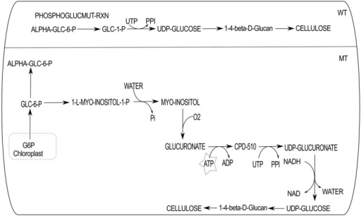 The deletion effect of PHOSPHOGLUCMUT-RXN is shown here.The WT shows the pathway by PHOSPHOGLUCMUT-RXN to synthesize cellulose. While deleted PHOSPHOGLUCMUT-RXN, the alternative possible route via myo-inositol pathway to produce cellulose is shown in MT.