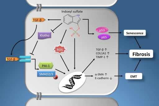 The profibrotic effects of indoxyl sulfate. Schematic presentation of the pathophysiological mechanisms via which indoxyl sulfate promotes fibrogenesis in renal cells. Furthermore, similar effects have been described for other protein-bound uremic retention solutes, e.g., p-cresyl sulfate. See text for details. Chemical structure obtained from the Human Metabolome Database (www.hmdb.ca). α-SMA, α-smooth muscle actin; EMT, epithelial-to-mesenchymal transition; PAI-1, plasminogen activator inhibitor-1; COL1A1, alpha-1 type I collagen; ROS, reactive oxygen species; TGF-β, Transforming growth factor-β; TIMP-1, tissue inhibitor of metalloproteinases-1.