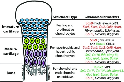During endochondral ossification, immature cartilage, mature cartilage, and bone differentiate under the control of Sox9 and Runx2 GRNs. Chondrocytes of immature cartilage, termed resting and proliferative chondrocytes during endochondral ossification, express high levels of genes in the Sox9 GRN. Genes known to be under direct transcriptional control of Sox9 or Runx2 are highlighted in red or green text, respectively. Chondrocytes of mature cartilage, termed prehypertrophic and hypertrophic chondrocytes during endochondral ossification, express low levels of genes in the Sox9 GRN and also genes in the Runx2 GRN. Osteoblasts in perichondral and endochondral bone during endochondral ossification express genes in the Runx2 GRN. *Col1 is one of the only genes expressed in osteoblasts that is not expressed in mature chondrocytes; Col10 expression in osteoblasts is high only in some vertebrates. Col11, Decorin, and Biglycan are expressed in all three of these skeletal cell types. Similar gene expression patterns are seen in immature cartilage, mature cartilage, and bone developing in the articular surface (not shown).