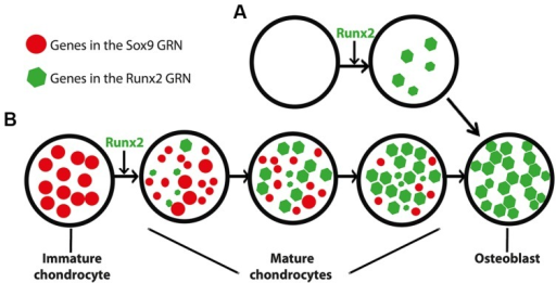 Differing models for the appearance of the GRN driving osteoblast formation. (A) In this scenario, the osteoblast (and the Runx2 GRN that drives its formation) appeared de novo, independent of the chondrocyte. This model is consistent with saltational evolution, in which large-scale genomic changes may facilitate the evolution of novelty over short periods of geologic time. (B) In an alternative scenario, the osteoblast appeared after a series of step-wise additions to the mature chondrocyte (and thus the Runx2 GRN that drives its formation). After establishment of the Runx2 GRN in mature chondrocytes, the osteoblast appeared when another population of cells co-opted the Runx2 GRN. This model is consistent with gradual evolution, in which a series of small changes over geologic time may facilitate the evolution of novelty. The size of the circles and polygons represent relative levels of up- or down-regulation of genes in the respective GRNs (see text for discussion of interactions between Sox9 and Runx2 GRNs).