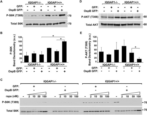 OspB activation of mTORC1.(A-B) Phosphorylation of mTOR substrate S6K in the presence of OspB and dependent on IQGAP1. Representative western blot (A) and band densitometry of phospho-S6K signal normalized to total S6K (B). (C) Inhibition by rapamycin of OspB-induced and IQGAP1-dependent phosphorylation of S6K. (D-E) Reduced phosphorylation of Akt on Thr-308 in the presence of OspB and dependent on IQGAP1. Representative western blot (D), and band densitometry of phospho-Akt Thr-308 signal normalized to total Akt (E). Apparent MWs are indicated in Kd. Densitometry is mean ± S.D. Data represent three or more independent experiments. *, p < 0.05, Student's two-tailed t test.
