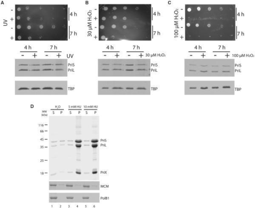 The Depletion of the Regulatory Subunit of Primase Is Specific to HUTreatment(A–C) The upper panel shows plating of 10-fold serial dilutions eithermock-treated (−) or treated (+) with (A) 200 J/m2 of UV light(254 nm) or (B) 30 μM or (C) 100 μM hydrogen peroxide for theindicated times. The lower panels contain western blots to determine levels ofprimase and TBP proteins.(D) Treatment of 13.5 μM recombinant primase (upper panel), MCM (middlepanel), or PolB1 (bottom panel) with the indicated concentrations of HU for 4 hrat 78°C leads to selective precipitation of primase. Following treatment,samples were centrifuged to separate soluble (s) and precipitated (p) materialand corresponding fractions analyzed by SDS-PAGE and stained with Coomassiebrilliant blue.