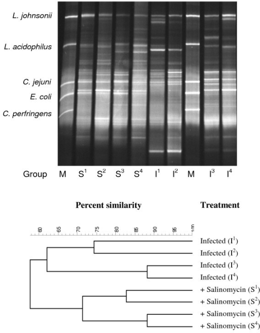 DGGE profile and dendrogram based on caecal samples from 30-day-old chickens. M refers to the molecular marker, containing DNA fragments from 5 pure cultures, as mentioned above. The treatment of the chickens is indicated by, I (infected with Campylobacter jejuni) or S (infected with C. jejuni + salinomycin treated).