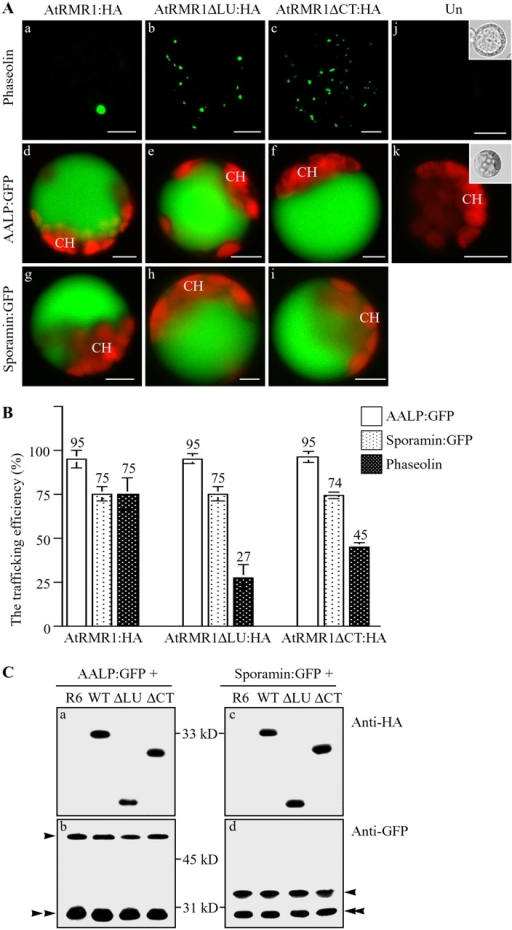 AtRMR1 deletion mutants inhibit the trafficking of phaseolin to the PSV. (A) Inhibition of phaseolin trafficking to the PSV by AtRMR1 deletion mutants. Protoplasts were transformed with the indicated constructs, and localization of the reporter proteins was examined. GFP signals of AALP-GFP and sporamin-GFP were observed from intact protoplasts, whereas phaseolin was detected from fixed protoplasts by immunostaining with antiphaseolin antibody. Un, untransformed protoplasts; CH, chloroplasts. Insets, bright field images of protoplasts. Bars, 20 μm. (B) Quantification of trafficking efficiency. To estimate the trafficking efficiency, transformed protoplasts were counted based on their GFP or immunostaining patterns. More than 100 protoplasts were counted for each transformation in a triplicate experiment. The numbers and error bars indicate the means and SEM, respectively. (C) Western blot analysis of vacuolar trafficking of AALP-GFP and sporamin-GFP. Protein extracts were prepared from protoplasts transformed with the indicated constructs and used for Western blot analysis using anti-HA or anti-GFP antibodies. WT, wild-type AtRMR1; ΔLU, AtRMR1ΔLU-HA; ΔCT, AtRMR1ΔCT-HA; R6, an empty vector used to balance the amount of plasmid DNA that was introduced into protoplasts. Single arrowhead, precursor; double arrowhead, proteolytically processed form.