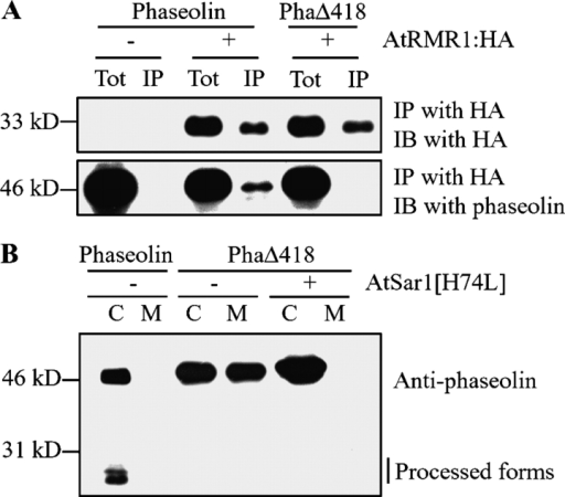 The CTPP of phaseolin is critical for its interaction with AtRMR1-HA. (A) Lack of interaction between AtRMR1-HA and phaseolinΔ418. Protein extracts (Tot) were obtained from protoplasts transformed with the indicated constructs. Immunoprecipitation (IP) was performed by using anti-HA antibody at pH 6.0 in the presence of 1 mM Ca2+. The pellet fraction was then subjected to immunoblot analysis (IB) with antiphaseolin antibody. (B) COPII-dependent trafficking of phaseolin and phaseolinΔ418. Protoplasts were transformed with the indicated constructs. Protein extracts were prepared from the transformed protoplasts (C) as well as the incubation medium (M) and were analyzed by Western blotting using antiphaseolin antibody. PhaΔ418, phaseolinΔ418; side bar, the processed forms of phaseolin.